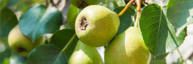 saison des poires