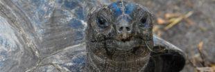 Même protégées, les tortues sont constamment menacées