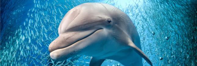 Nager avec des dauphins ou des cétacés: c'est pas de l'écotourisme, loin de là!