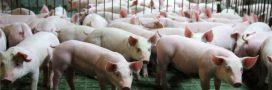 La vie sordide des truies dans les élevages industriels dénoncée