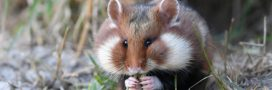 Grand hamster d'Alsace vs Grand Contournement Ouest de Strasbourg