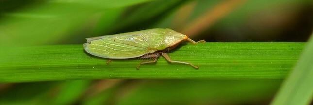 Des insectes pour transporter des virus ? Le projet 'Insect Allies' inquiète...