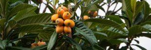 La nèfle du Japon, un fruit rafraîchissant et peu calorique