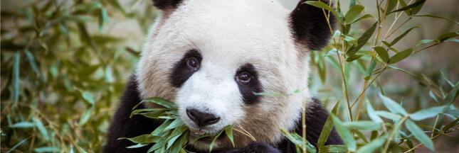 Même les espèces les plus connues et emblématiques continuent à disparaître