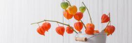Physalis: des scientifiques veulent faire de ce fruit les 'nouvelles fraises'!