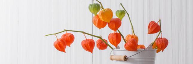 Physalis : des scientifiques veulent faire de ce fruit les 'nouvelles fraises' !