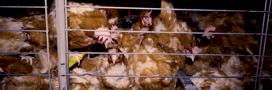 Une nouvelle vidéo accablante pour le 1er producteur d'oeufs français