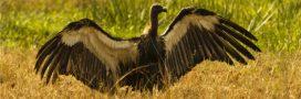 Diclofenac ou Prozac: un cocktail mortel pour les vautours et les étourneaux