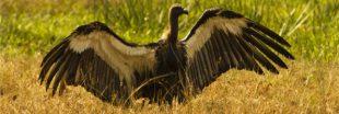 Diclofenac ou Prozac : un cocktail mortel pour les vautours et les étourneaux