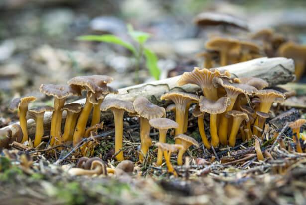 les champignons comestibles, reconnaître un champignon comestible, chanterelle