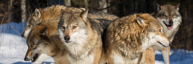 Le prodigieux impact de la réintroduction du loup à Yellowstone