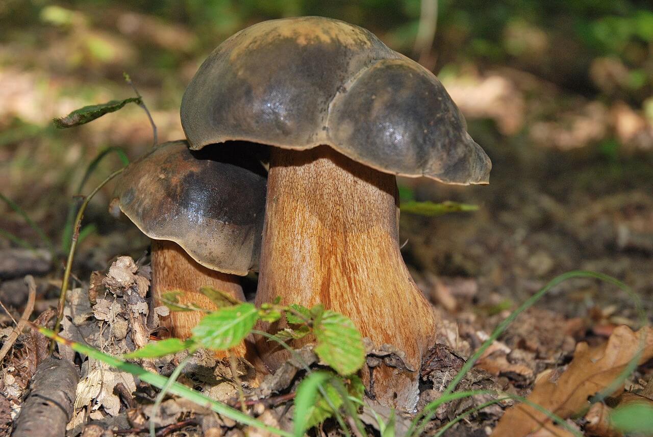 les champignons comestibles, reconnaître un champignon comestible, bolet