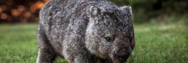 Les wombats ont inventé… la crotte en cube!
