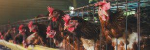 Un nouveau rapport alerte sur les fermes-usines françaises