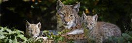Les Allemands relâchent des lynx, la France en profite!
