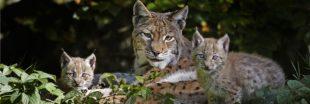 Les Allemands relâchent des lynx, la France en profite !