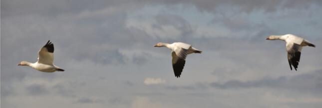 5 faits étonnants sur la migration animale