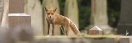 Biodiversité urbaine: ces animaux qui se sont habitués vivre en ville