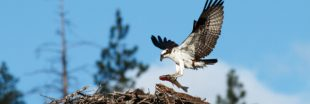En Corse, le tourisme menace les balbuzards et la réserve de Scandola