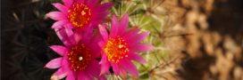 Collectionneurs et trafiquants mettent cactus et succulentes en danger