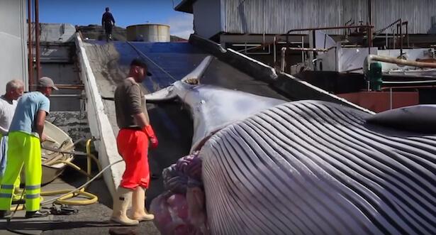 Le Japon quitte la CBI et reprend la chasse à la baleine