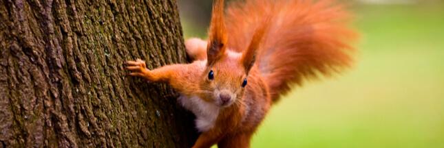 Et, malgré le Brexit, la martre sauva l'écureuil roux