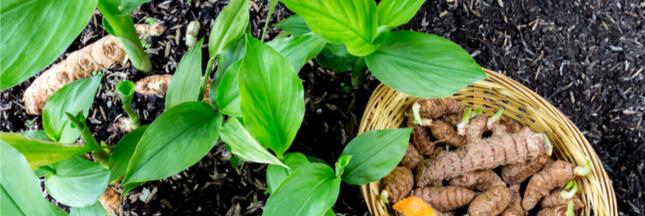 Planter du curcuma chez soi: les bons gestes