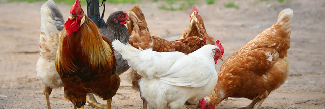 Qu'avons-nous fait à nos poulets en seulement 60 ans d'exploitation ?