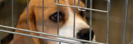 Essais sur les animaux: PETA France appelle à boycotter le Téléthon