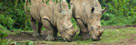 Rhinocéros de Java: le prochain grand mammifère à s'éteindre?