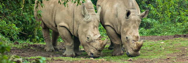 Rhinocéros de Java : le prochain grand mammifère à s'éteindre ?