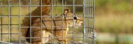 Piégeage d'animaux sauvages: et si on arrêtait de faire n'importe quoi?