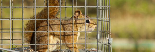 Piégeage d'animaux sauvages : et si on arrêtait de faire n'importe quoi ?