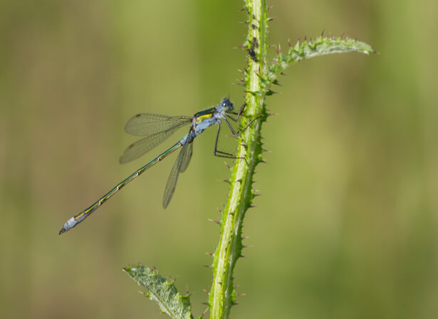 libellule menacee, espèces menacées en France