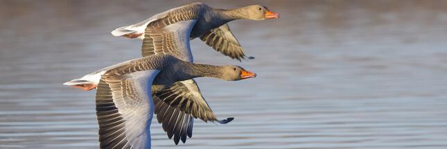 Dites non à la prolongation de la chasse aux oies sauvages !