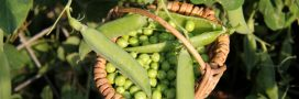 Comment réussir ses semis de petits pois année après année