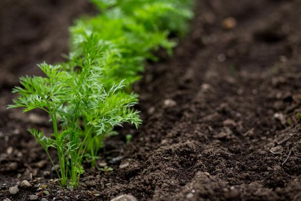 comment r ussir ses semis de carottes ann e apr s ann e. Black Bedroom Furniture Sets. Home Design Ideas