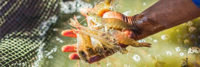 La mangrove, un milieu menacé en grande partie par notre appétit de crevettes