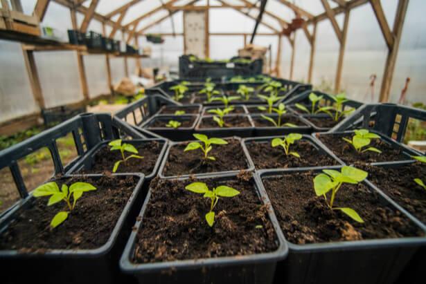 comment r ussir ses semis de poivrons et de piments ann e apr s ann e. Black Bedroom Furniture Sets. Home Design Ideas