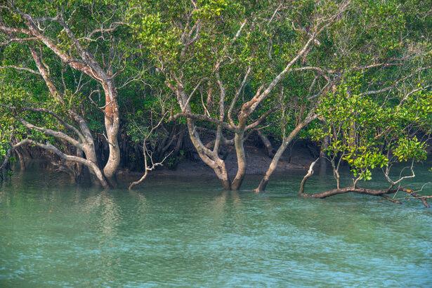 mangroves crevettes