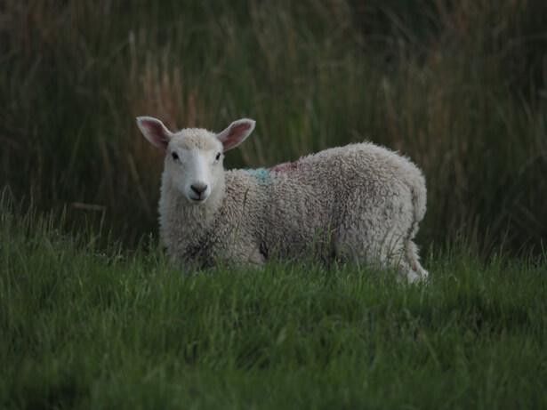 pas porter de laine
