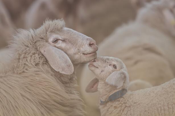 pas porter laine