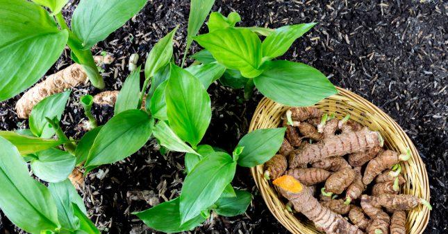 Planter du curcuma chez soi : les bons gestes