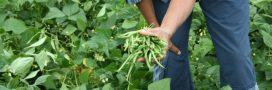 Association de culture: bonnes et mauvaises fréquentations du haricot vert