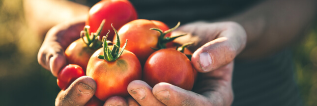 Association de culture : bonnes et mauvaises fréquentations de la tomate