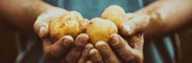 Association de culture: bonnes et mauvaises fréquentations de la pomme de terre