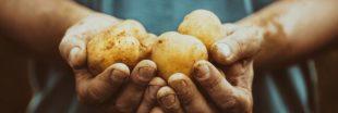 Association de culture : bonnes et mauvaises fréquentations de la pomme de terre