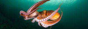 Des scientifiques tirent la sonnette d'alarme contre l'élevage de poulpes