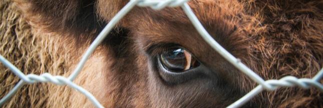 Scandale sanitaire : de la viande avariée polonaise vendue en France !