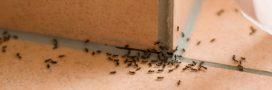 12 méthodes naturelles pour éloigner les fourmis